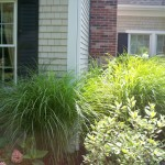 Maiden grasses and perennials